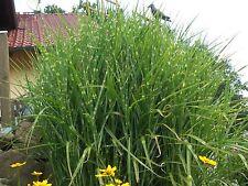 """Ziergras """" Zebra schmuck Gras """" (Miscanthus sinensis zebrinus) - 30 Samen"""