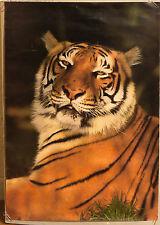 (PRL) FOTO PICTOR TIGRE TIGER PHOTO VINTAGE AFFICHE PRINT ARTE POSTER ART