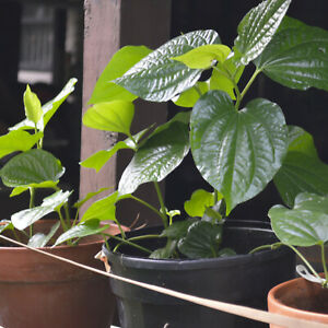 """4x Stems 4"""" to 6"""" ROOT NATURAL BETEL LEAVES LOLOT TEXAS Lá lốt Piper Sarmentosum"""