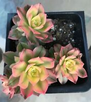 """Aeonium 'Kiwi Aeonium', Comes in a 4"""" Pot"""