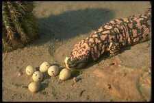 175020 Gila Monster Lizard Eating Desert Quail Eggs A4 Photo Print