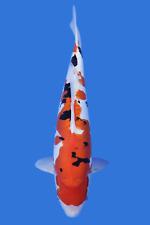 19  inch Doitsu Sanke Imported Japanese Koi Fish Live 6258