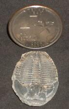 Elrathia Kingii Trilobite 1:12 Victorian Cabinet Curiosities Fossil Library 1537