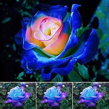 GUT Neu Rare Saatgut Blumensamen 100 Samen Blau-Rosa Rosen Samen für Hausgarten