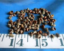~ Planaxis Shells ~ Tiny Mottled Brown ~ 100 ~ Shellcraft~ Sailor's Valentines ~