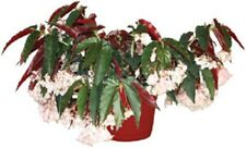 """Angelwing Begonia """"Torch Pink""""  Well Rooted Starter Plant"""