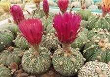 Pink Flowers fresh 2020 seeds! nataellis 10 SEEDS Astrophytum asterias cv