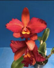 Lc Tropical Rainbow 'Montclair' X Lc Spring Fires 'Lynette #3' 4� (15) 6312