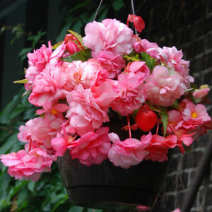 3 Trailing Cascade SPLENDIDE BEGONIA BULBS Rosy Pink Blooms For Hanging Baskets