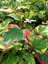 10 Bare Roots Variegated Chameleon Plant Pond/Bog/Water garden or soil plant