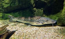 Pseudoplatystoma fasciatum (Barred Shovelnose Catfish)