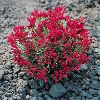 Purslane- Rock (Calandrinia Umbelleta)- 100 Seeds - BOGO 50% off SALE