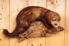 Schöner Iltis  Polecat Taxidermy mit Bescheinigung