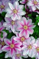 Clematis 'Bees Jubilee' Large Flowering Plug Plant climbing shrub