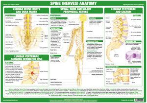 Spine Anatomy Poster Showing Nerves and Vertebrae Medical Chart