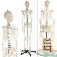 Human skeleton anatomical model Life Size 181cm medical + poster + bonnet new