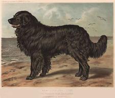 "DOGS. Newfoundland, ""Leo"" 1881 old antique vintage print picture"