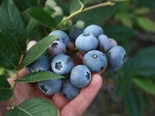450 Graines Northern Highbush Blueberry 'Vaccinium corymbosum' Blueberries seeds