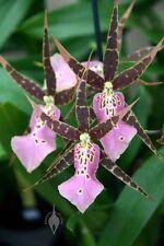 Miltassia Olmec kano. Orchids hybrid.