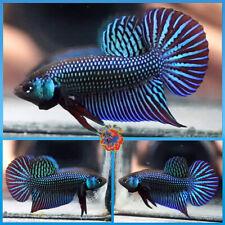 New listing Live Betta Fish Male Fancy Wild Betta Halfmoon Plakat #E669
