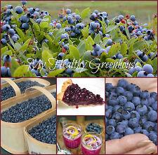 SEEDS - Canada's Saguenay Lac St-Jean Wild Blueberries Abundance Lowbush!