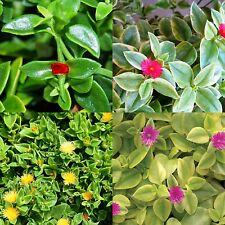 Lot Set of 4 Colors Baby Sun Rose Jewel Heart Leaf Ice Plant Aptenia Cordifolia