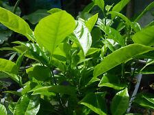Passionfruit Passiflora ligularis Organic Plant : Sweet Granadilla : Best Taste!
