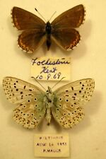 Pair Chalkhill Blue Butterflies Folkestone Moth Insect Lepidoptera Taxidermy