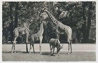 AK Zoologischer Garten Frankfurt a.M./ Massai-Giraffen (X600)