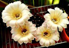 Echinopsis Echinobivia Hybrid Cactus Plants-Rainbow Bursts Series Var. #9
