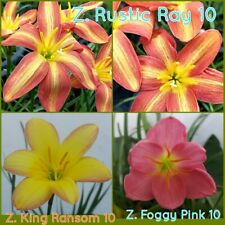 3x10 Rain Lily Bulbs Zephyranthes Rustic Ray+Kings Ransom+Foggy Pink Flower Size