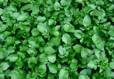 WATER CRESS-Nasturtium officinale 1000 seeds Hot real herb (Rukiew wodna).