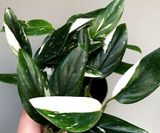 Monstera Standleyana Variegata 'Cobra' White Variegated Climber +Free Heat!
