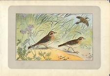 Stampa antica UCCELLI ALLODOLA Alauda arvensis 1907 Old antique print