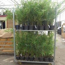 Bambus fargesia robusta Campbell Hecke  im C2.5  ca. 60 - 90 cm