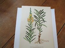 Toadflax or Butter and Eggs (Linaria Vulgaris) Antique Botanical Floral Print