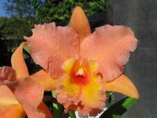 ORANGE! ~ Cattleya Orchid ~ Pot. Marlene Lundquist 'Orange Delight'
