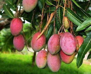 1 Mango Fruit Seeds Mangifera Tree Tasty Garden Potten Home Organic Fresh Plants