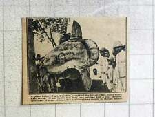 1921 Giant Sunfish Caught Off The Island Of Beo Dutch East Indies