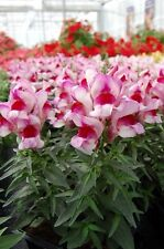 Snapdragon Seeds Snapdragon Snappy Orchid Flame 50 Seeds