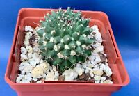 "MAMMILLARIA SARTORII IN A 4"" POT, SEED GROWN CACTUS PLANT, #1626"
