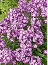 3 Phlox LAURA - Large Size 1 Root - Immediate Shipping!