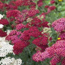 garten-schaf-garbe Achillea Millefolium ' ROJA Velvet ' RESISTENTE frío