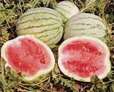 Dixie / Cuban Queen Sweet WATERMELON 35lb fuit Heirloom 35 Seeds Organic NON-GMO