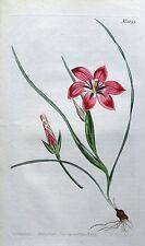 Blush trichonema pudicum Curtis Original Mano Col Antiguo botánico de impresión de 1809