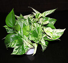 """Marble Queen Pothos 6"""" Pots Easy Tropical Vining House Plant SUPER LARGE & FULL"""