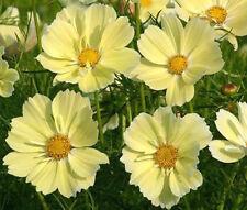 COSMOS SONATA YELLOW Cosmos Bipinnatus - 1,000 Bulk Seeds