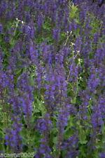 Salvia Stauden-Pflanzen für gemäßigtes Klima