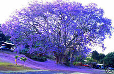 Jacaranda Tree Seed - Beautiful Purple/Blue Flowers Semideciduous Hardy
