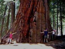 Bergmammutbaum Sequoiadendron giganteum / Mächtigster Baum der Welt ... Samen